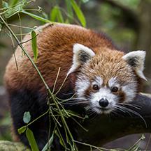 panda-roux
